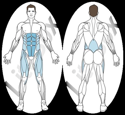 abdos rameur muscles sollicités