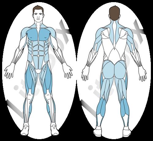 burpees muscles sollicités