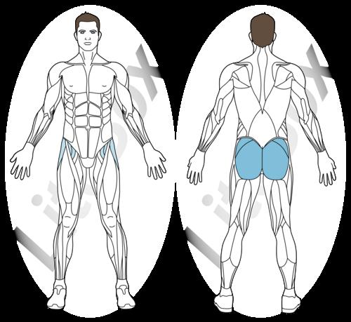 palourde muscles sollicités