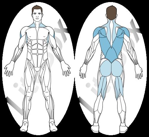 cobra muscles sollicités