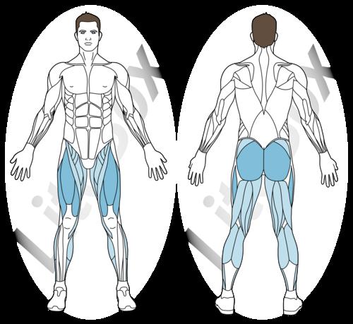 squat bulgare muscles sollicités