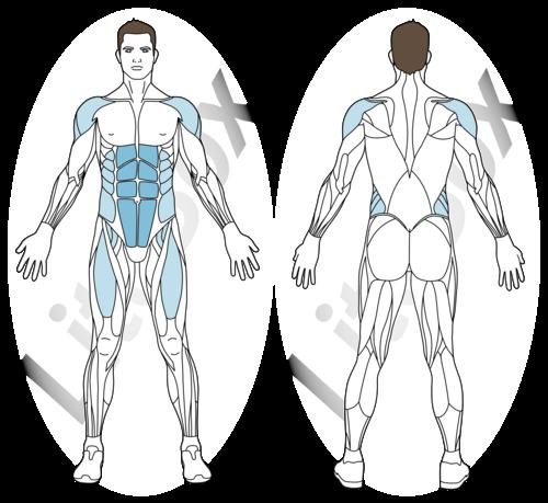 dead bug muscles sollicités
