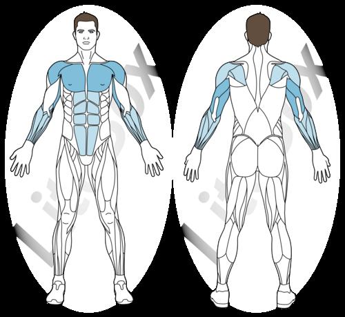 dips barre fixe muscles sollicités