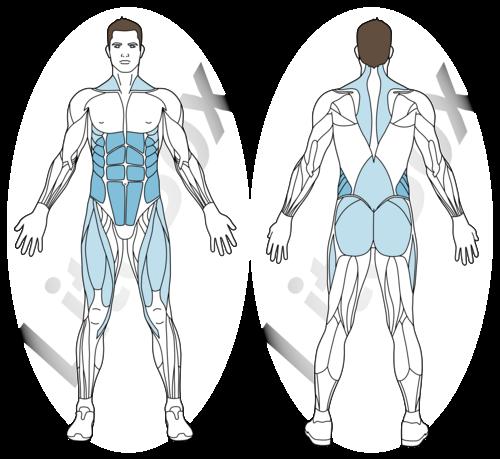 planche spiderman muscles sollicités