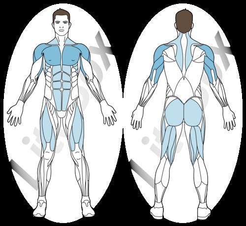 inchworms muscles sollicités