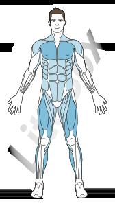 muscles grand pectoral, quadriceps, gastrocnémien et soléaire