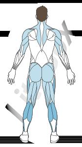 muscles triceps sural (gastrocnémien et soléaire)