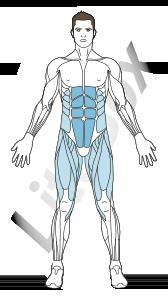 muscle droit de l'abdomen
