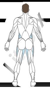 muscles secondaires : oblique externe de l'abdomen et adducteurs