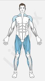muscles quadriceps fémoral, tenseur du fascia lata, adducteurs, sartorius et triceps sural