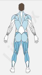 muscles petit glutéal, ischio-jambier, adducteurs, triceps sural (gastrocnémien et soléaire)