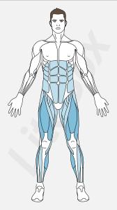 muscles quadriceps fémoral et mollets