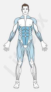 Muscles droit de l'abdomen, dentelé antérieur, triceps brachial