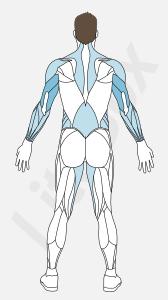 Muscles triceps brachial