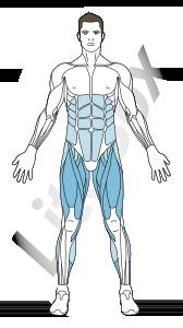 muscles quadriceps fémoral, sartorius, adducteurs et soléaire