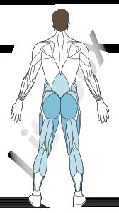 muscles grand glutéal, adducteurs et soléaire