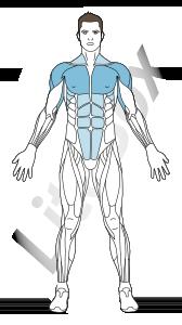 muscles deltoïdes, grand pectoral et triceps