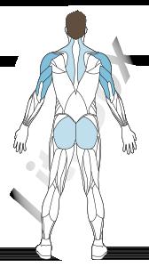 muscles deltoïdes et triceps