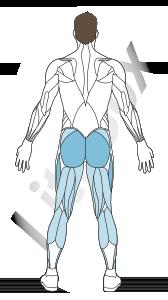muscle grand glutéal