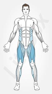 quadriceps et muscle soléaire