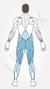 muscles grand glutéal, ischio-jambier et soléaire